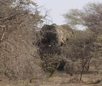 Der er kun nogle buske og få hundrede meter mellem os og den store hanelefant