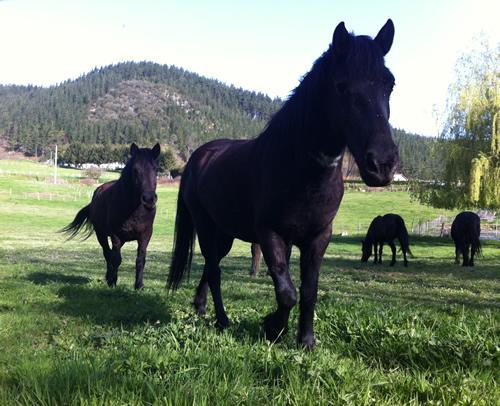 Der er mange heste i Nordspanien, og jeg hilser på dem