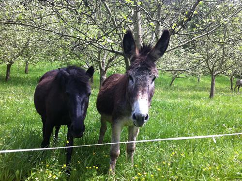 Et æsel og en hest hilser