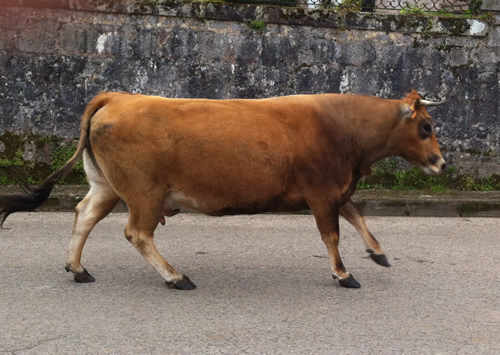 En ko på vej gennem Pendueles