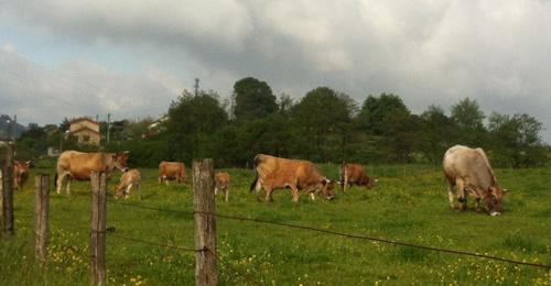 En kofamilie har tyren med på marken